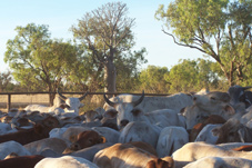 mob of Kimberley cattle
